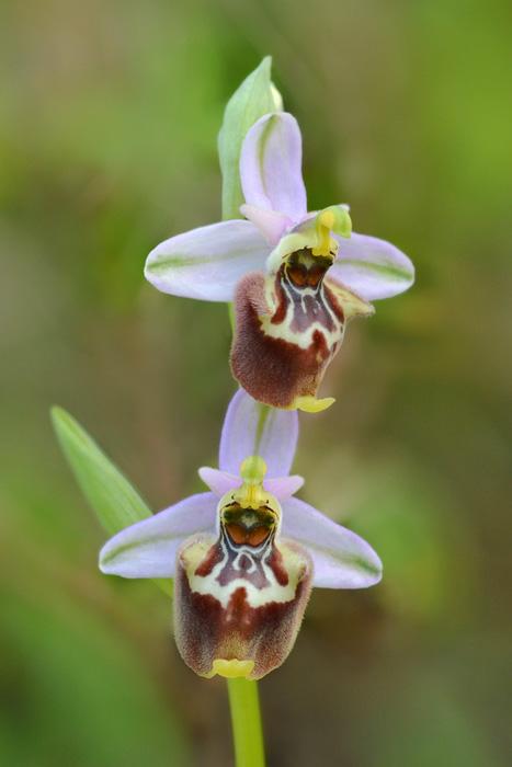 Orchidées et ambiances florales des Pouilles - Page 2 Candic11