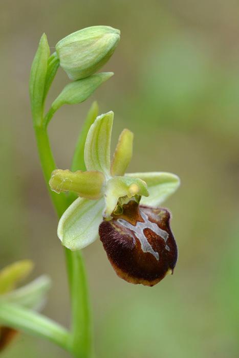 Orchidées et ambiances florales des Pouilles - Page 2 Classi10