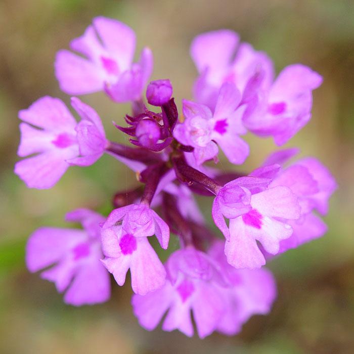 Orchidées et ambiances florales des Pouilles - Page 2 Dsc_0410