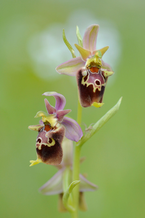 Orchidées et ambiances florales des Pouilles - Page 3 Hapuli15