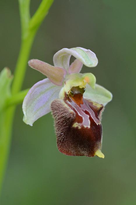 Orchidées et ambiances florales des Pouilles - Page 3 Hapuli16