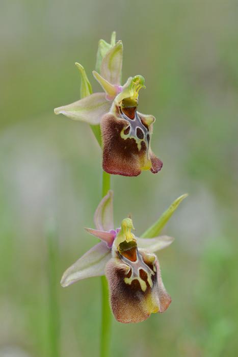 Orchidées et ambiances florales des Pouilles - Page 3 Hapuli19