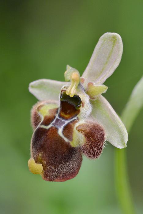 Orchidées et ambiances florales des Pouilles - Page 3 Hbomby11