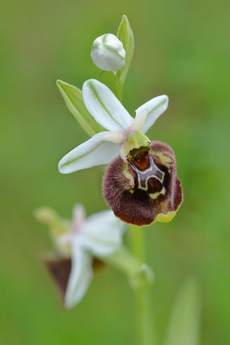 Orchidées et ambiances florales des Pouilles - Page 2 Parvim11