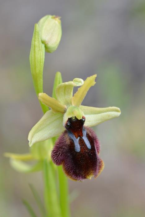 Orchidées et ambiances florales des Pouilles - Page 2 Tarent10