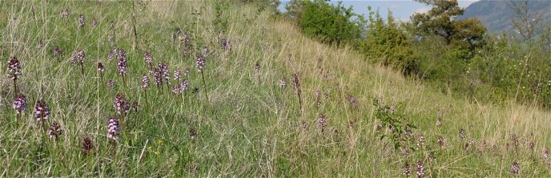 Orchis purpurea ( Orchis pourpre ) Prairi10