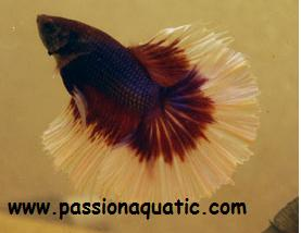 betta passionaquatic [LABYRINTHIDES]  Salama10