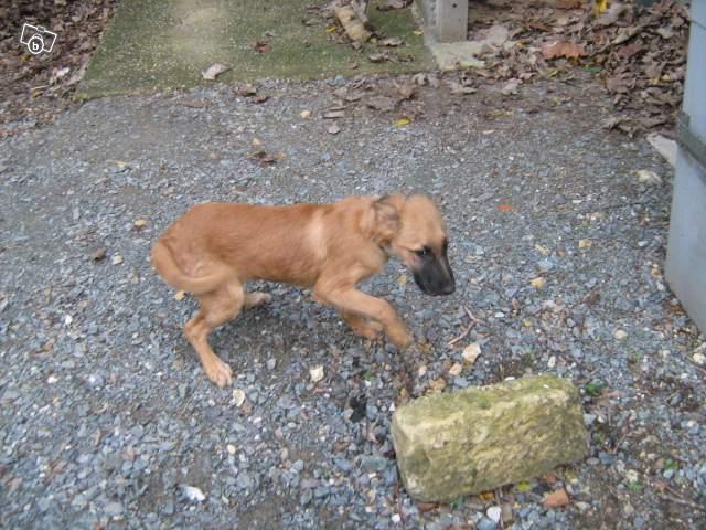 Petite chienne xmalinois, moins d'un an EUTHA 15/01 dans le 79 20655811