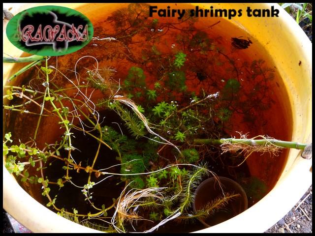 Fairy shrimps, artémias d'eau douce, expérience positive! - Page 2 Bac_fa10