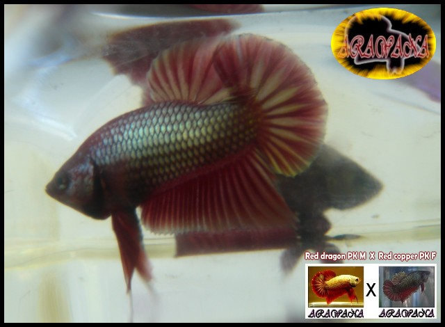 Jeunes Red dragon X red copper geno yellow Male11