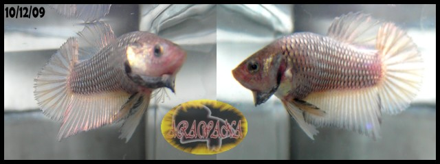 Jeunes Red dragon X red copper geno yellow Male_g10