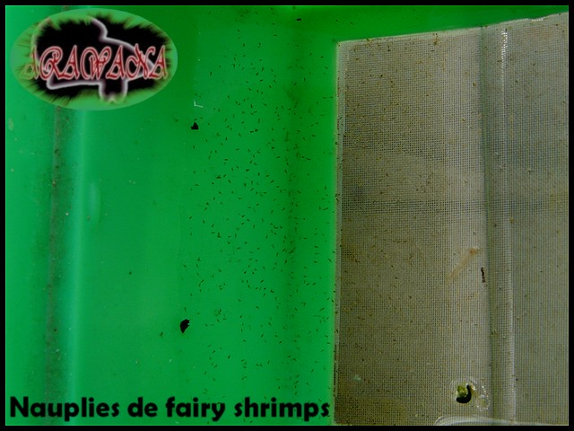 Fairy shrimps, artémias d'eau douce, expérience positive! Naupli10