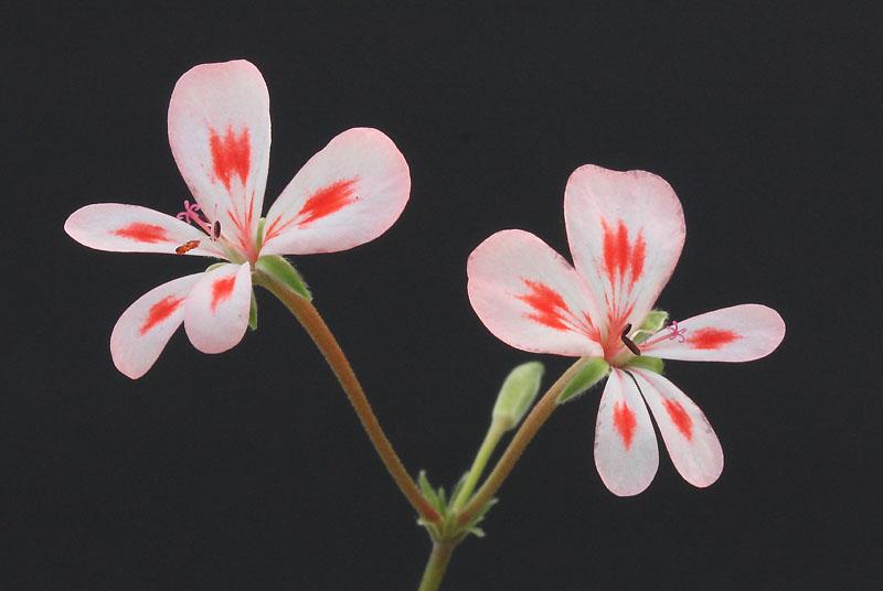 Pelargonium nephrophyllum Img_1010