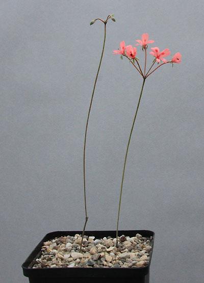 Pelargonium nephrophyllum Img_9711