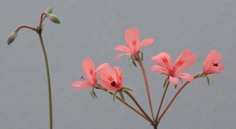 Pelargonium nephrophyllum Img_9712