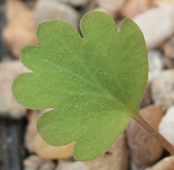 Pelargonium nephrophyllum Img_9715