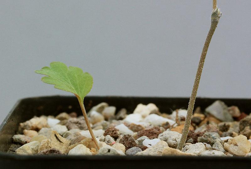 Pelargonium nephrophyllum Img_9810