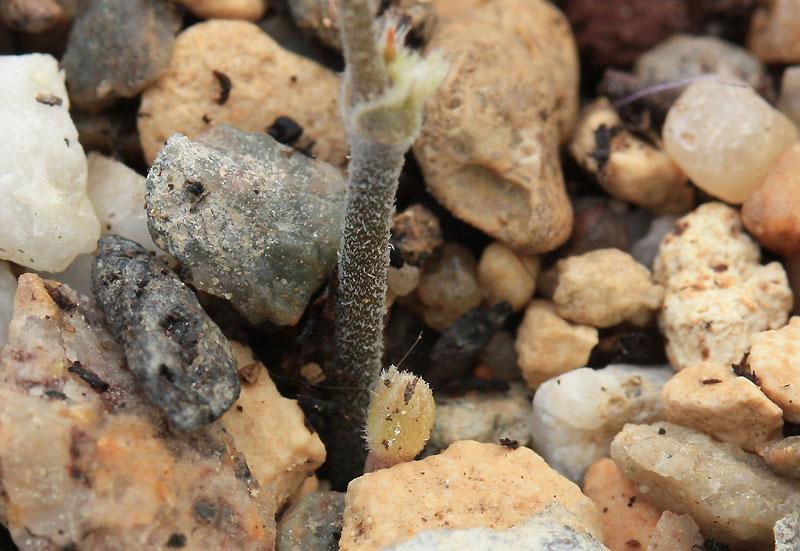Pelargonium nephrophyllum Img_9811