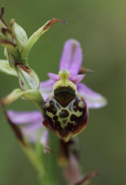 ophrys elatior Img_4310