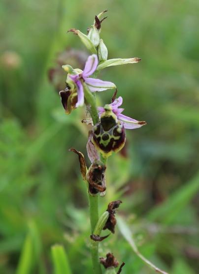 ophrys elatior Img_4311