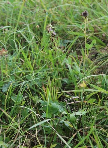 ophrys elatior Img_4313