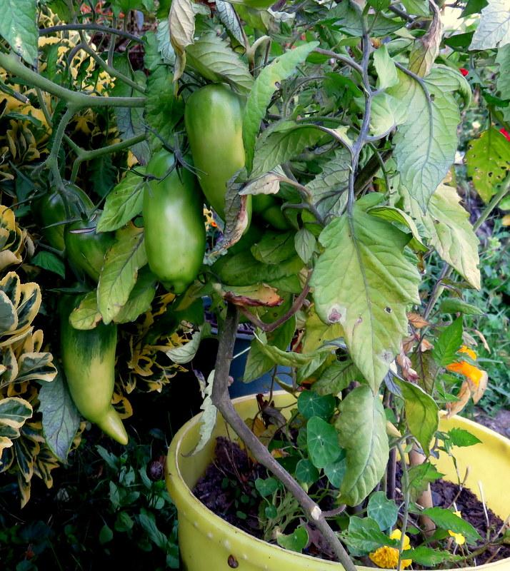 Tomates 00112