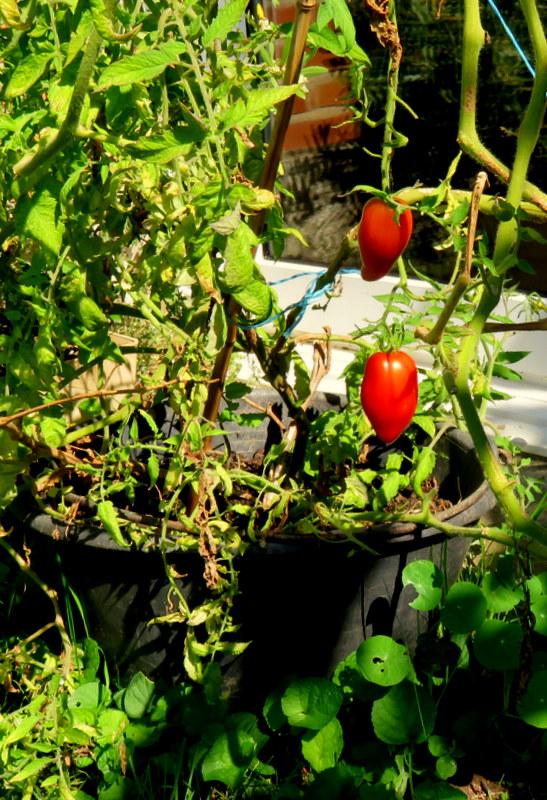 Tomates 020_210