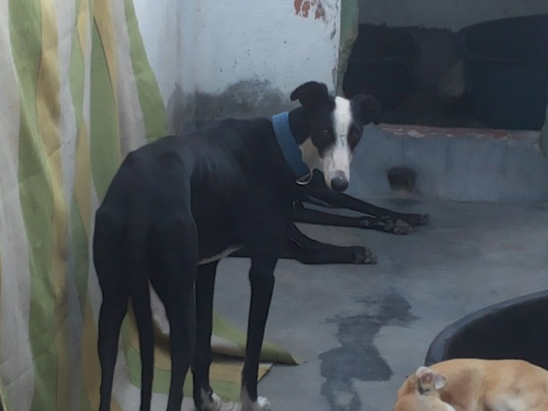 Marlene belle galga noire et blanche Adoptée  Marlen11