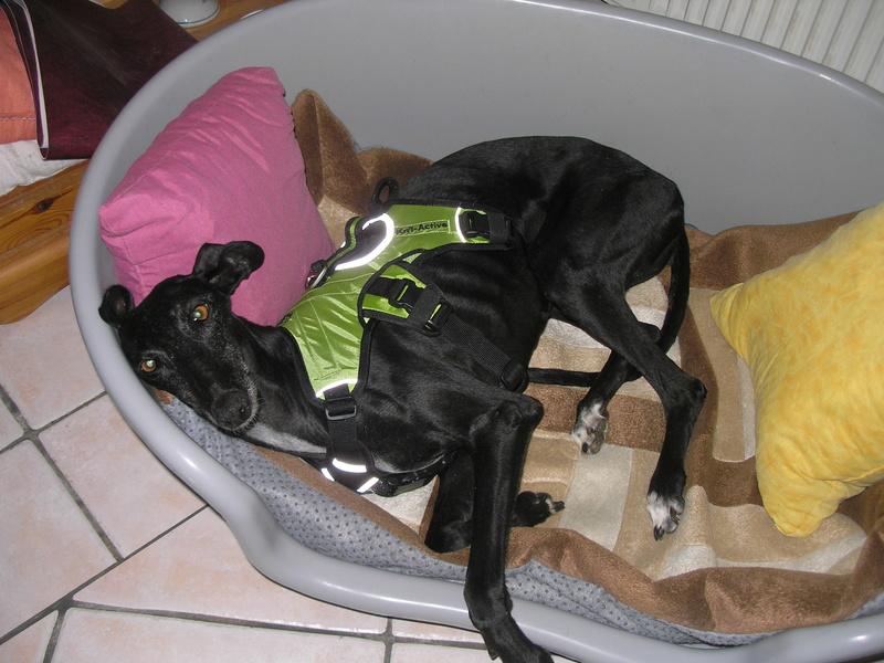 Brendita douce et calme galga noire ok chats reservée  P1010611