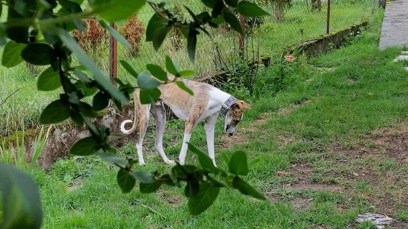"""Vegeta beau bringé barbudo à l'adoption """"Scooby France""""Adopté Vegeta19"""