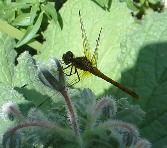 Insectes, papillons... Libell10