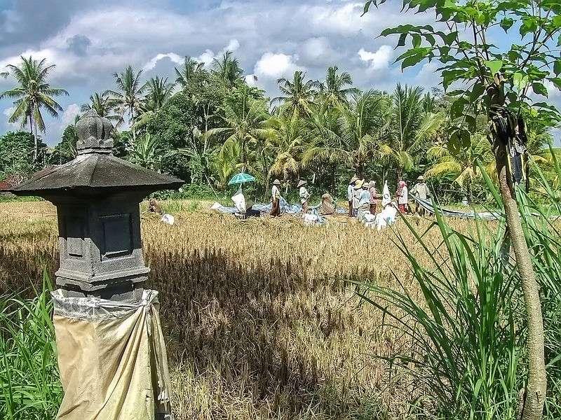 Scène rurale, Bali 36995012