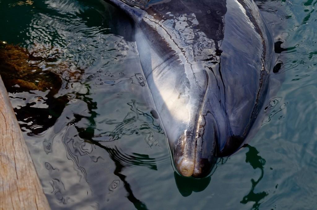 Randy le dauphin de Port Maria Quiberon ! Dsc_0071