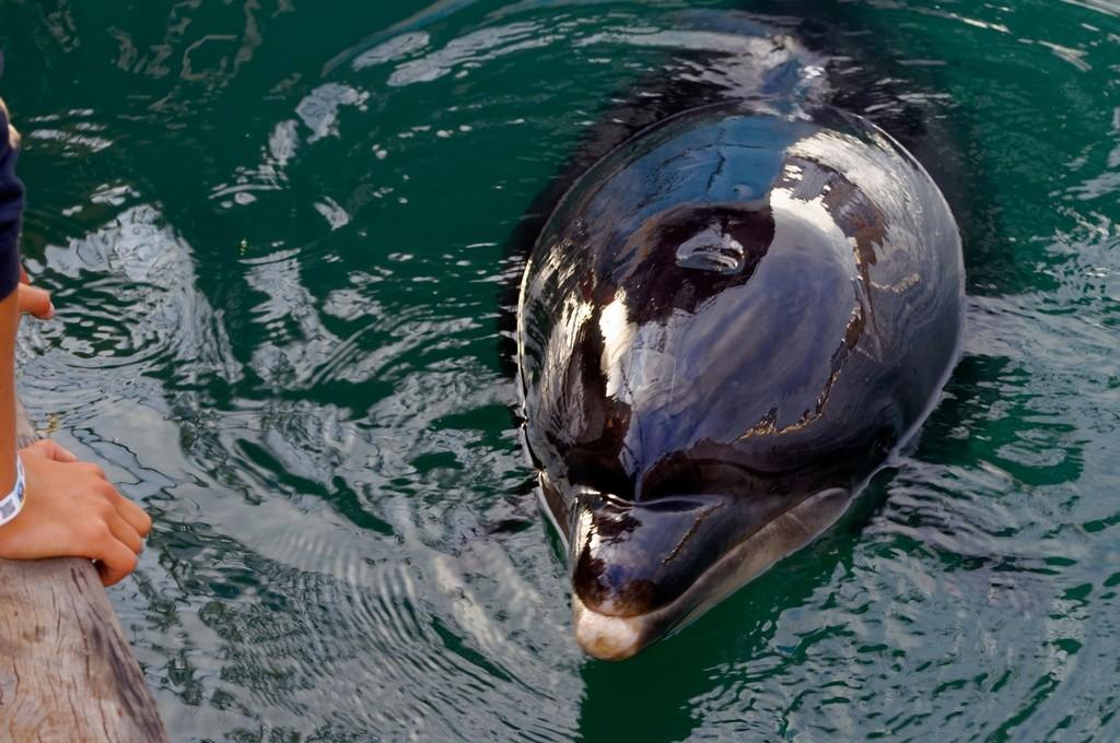 Randy le dauphin de Port Maria Quiberon ! Dsc_0074