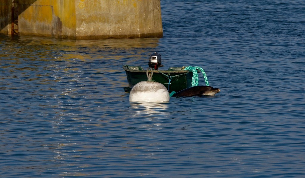 Randy le dauphin de Port Maria Quiberon ! Dsc_0083