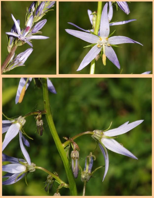 Turquie mai 2017, Monts Taurus, 5: quelques autres plantes 1_asyn10