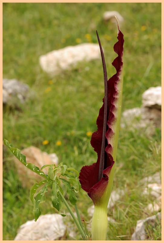 Turquie mai 2017, Monts Taurus, 5: quelques autres plantes 5_drac10