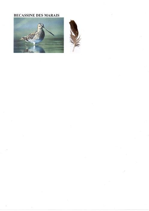 Bécassine des marais Img51810