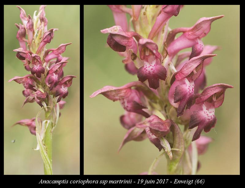 Anacamptis coriophora subsp. martrinii (O de Martrin ) Anacam16
