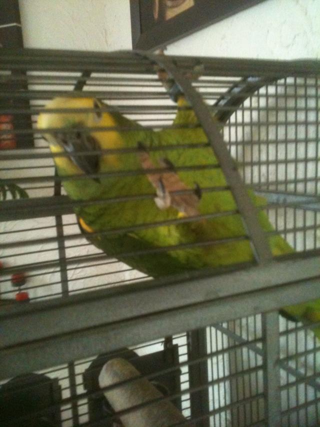 Voici mon Amazone a front  jaune du nom de Touco 02911