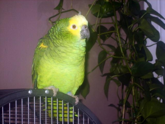 Voici mon Amazone a front  jaune du nom de Touco S8000010