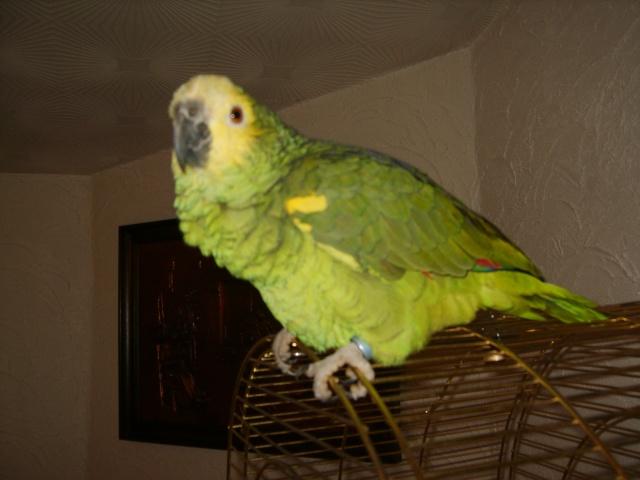 Voici mon Amazone a front  jaune du nom de Touco Touco_17