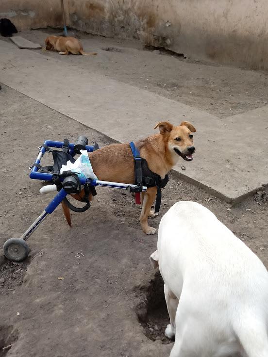 MIKI, M-X, né 2014, handicapé (Serbie/ex-Pension Gordana) En FA chez Aurore W. (Depart67) 20170832