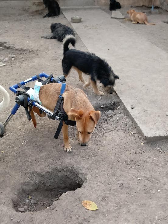 MIKI, M-X, né 2014, handicapé (SERBIE/Pension GORDANA) En FA chez Aurore W. (Depart67) 20170833