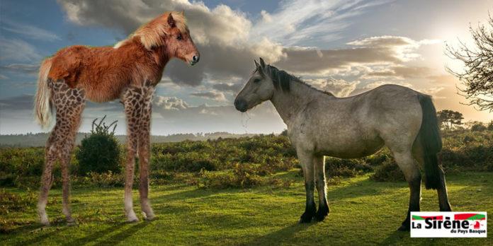 Un pottok se fait greffer des jambes de girafe pour impressionner un cheval 20170610