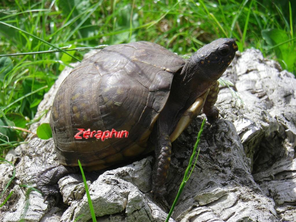 Conseils à lire avant de faire l'acquisition d'une tortue .. 22_jui10