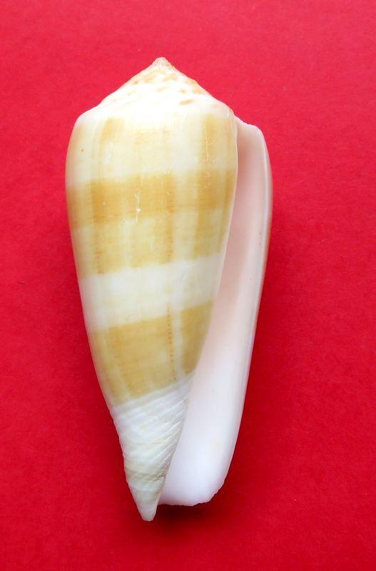 Conus (Pionoconus) carinatus (Swainson, 1822) voir Conus (Pionoconus) magus C_magu10