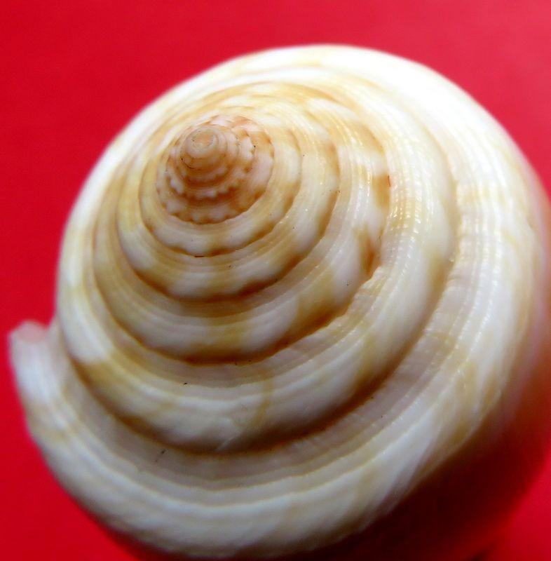 Conus (Pionoconus) carinatus (Swainson, 1822) voir Conus (Pionoconus) magus C_magu12