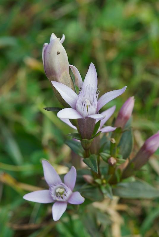 Gentiana polymères... (tétramère, pentamère, hexamère) 20170918