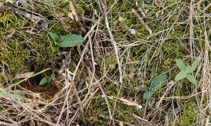 Ophrys tenthredinifera à St Paul de Fenouillet Dsc_4311